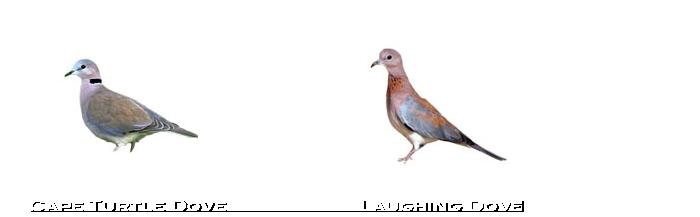 Dove-species-namibia