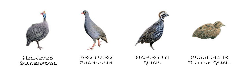 Guineafowl-francolin-quail-birds