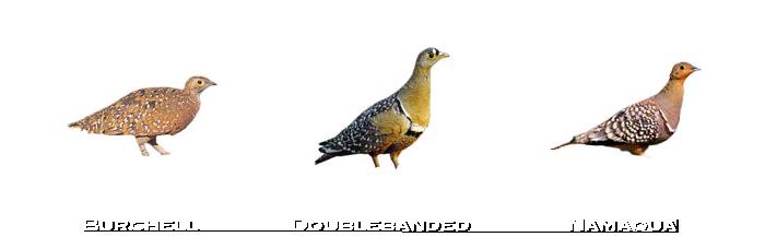 Sandgrouse-species-namibia