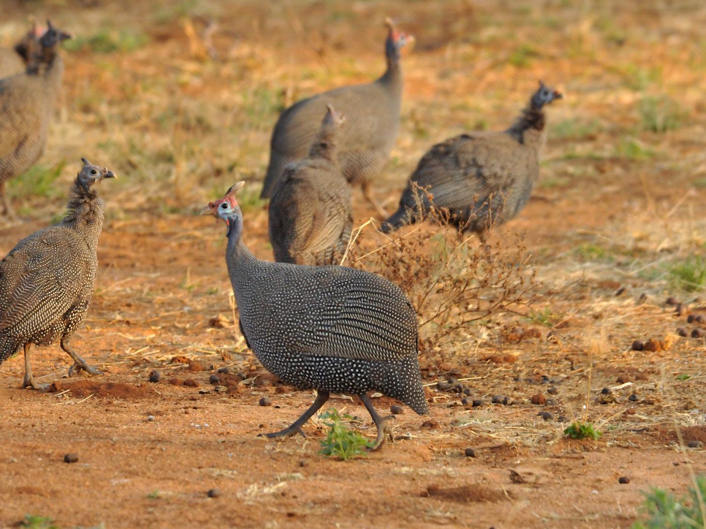 bird-hunting-africa-07