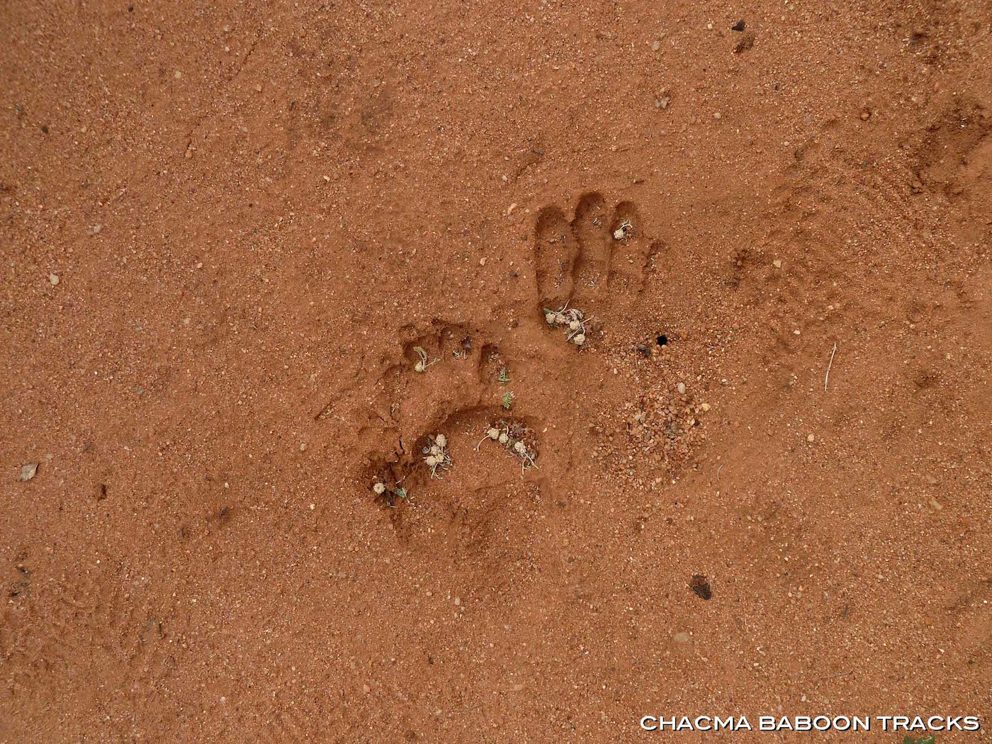 hunting-africa-chacma-baboon-track