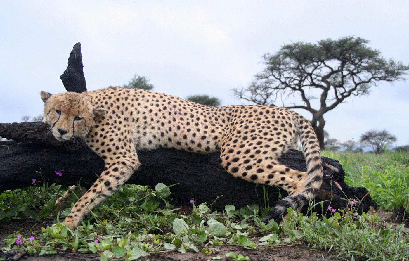 hunting-africa-cheetah