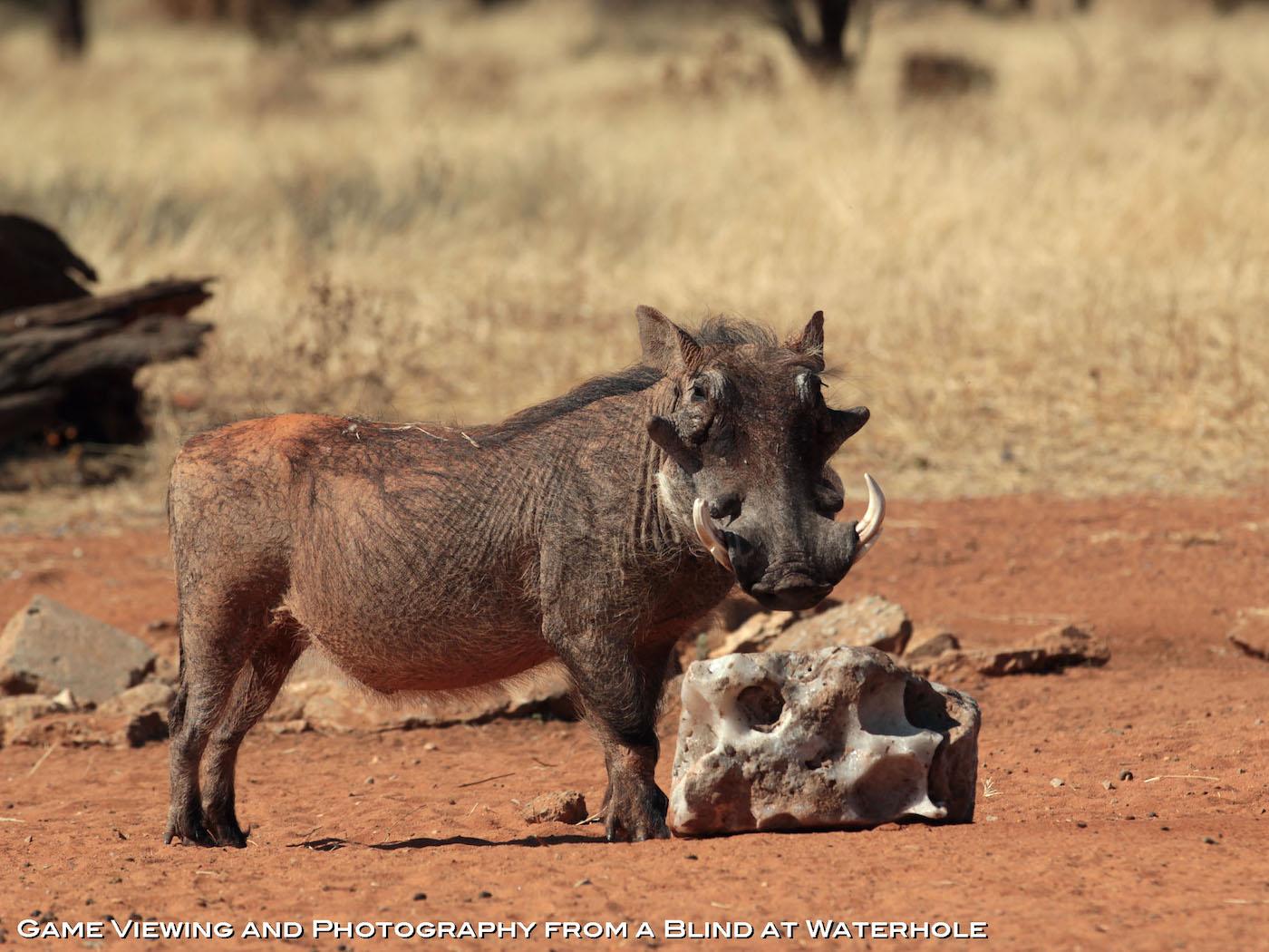 hunting-africa-warthog