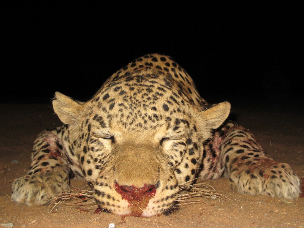 leopard-hunting-006