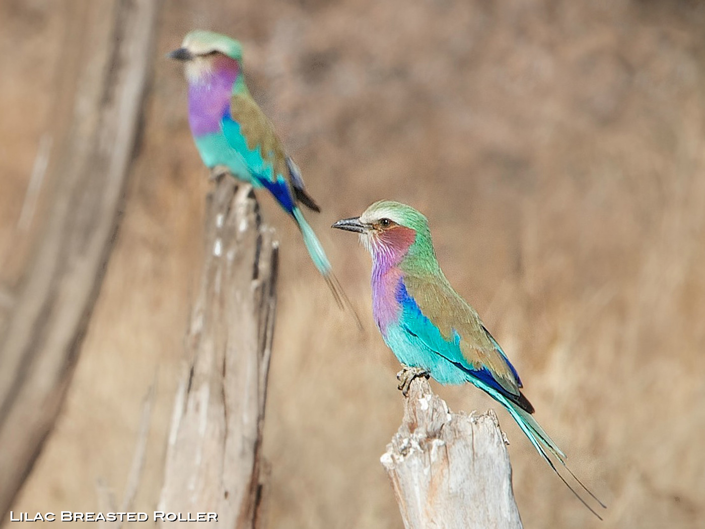 namibia-Lilac-Breasted-Roller