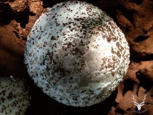 namibia-hunting-omajowa-Mushroom-04