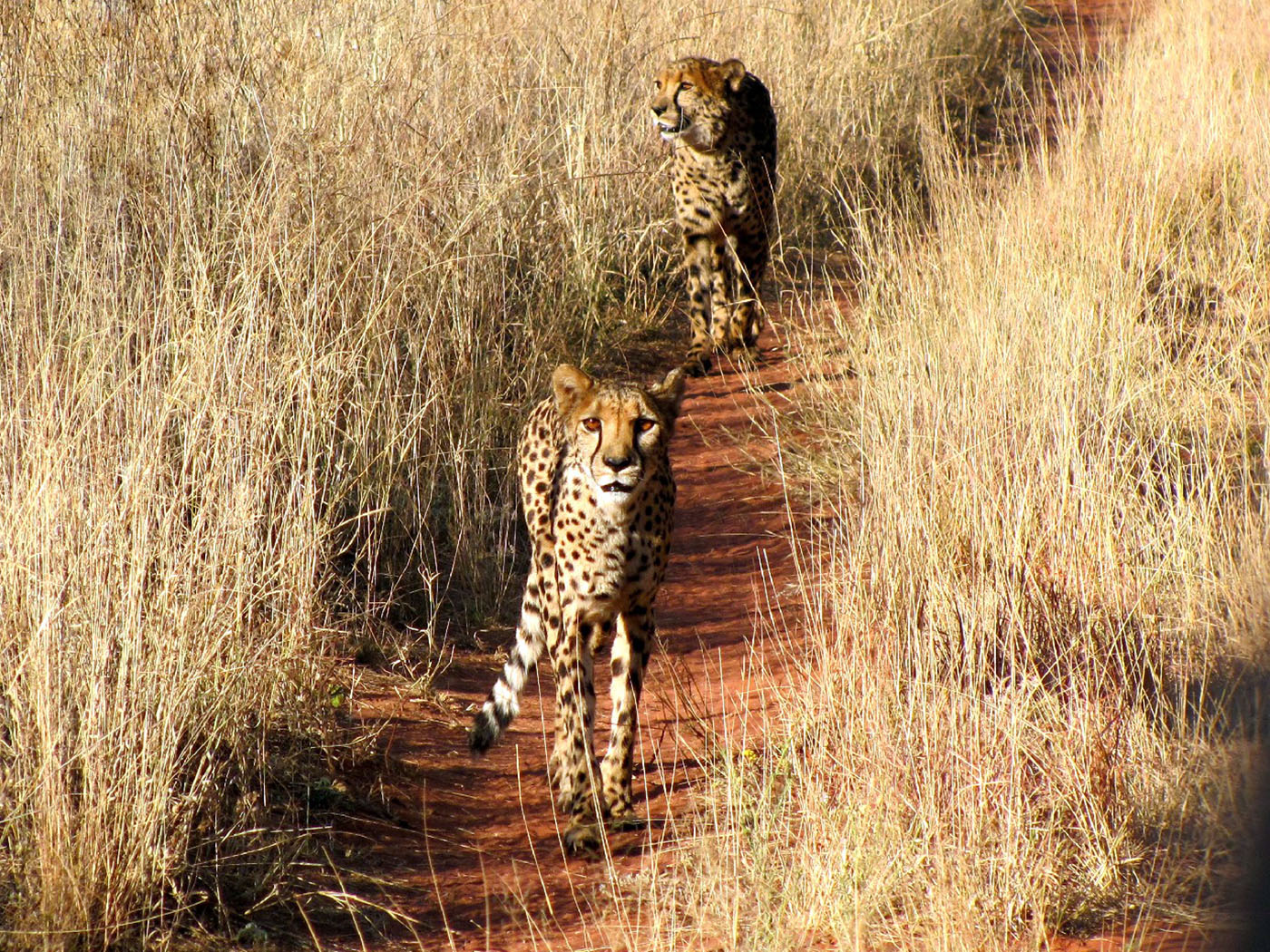 hunting-cheetah-001