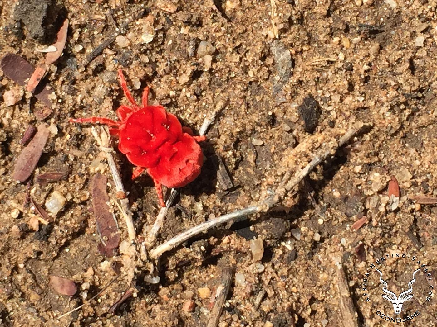 red-rain-mite